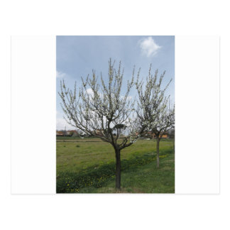 Blossoming pear tree in the garden  Tuscany, Italy Postcard