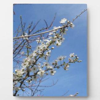 Blossoming plum against the sky . Tuscany, Italy Plaque