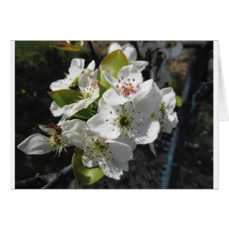 Blossoms of a pear tree in spring greeting card