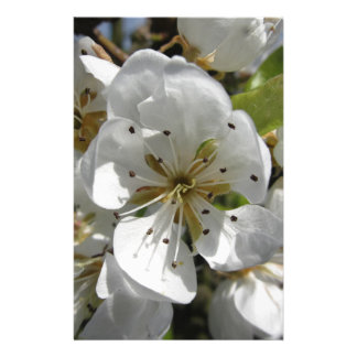 Blossoms of a pear tree in spring . Tuscany, Italy Stationery
