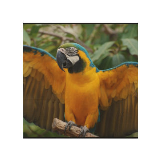 Blue and Gold Macaw with Wings Spread Wood Print