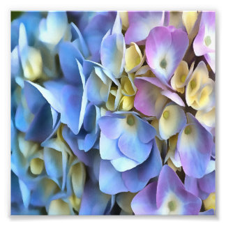 Blue and Pink Hydrangea Flowers Photo Print