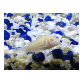 Blue and white pebbles and Albino cat fish Postcard