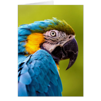 Blue and Yellow Macaw (Ara ararauna) Card