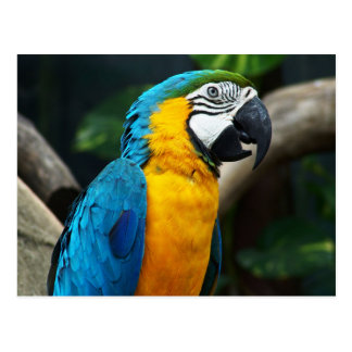 Blue and yellow Macaw (Ara ararauna) Postcard