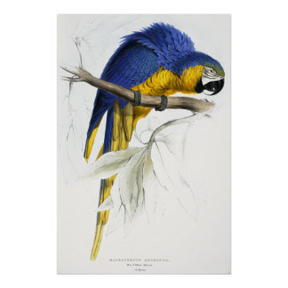 Blue and Yellow Maccaw Poster