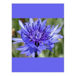 Blue Bachelor Button Flower Postcard