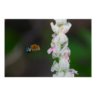 Blue-banded Bee Poster