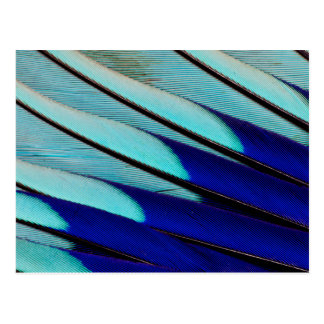 Blue-bellied Roller feathers Postcard