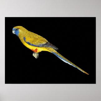 Blue Bonnet Parrot - Northiella haematogaster Print