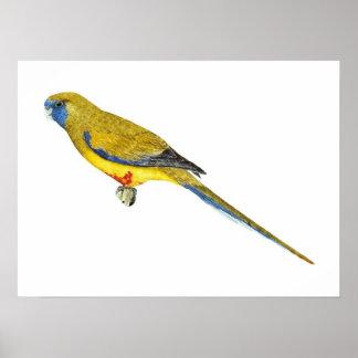 Blue Bonnet Parrot - Northiella haematogaster Poster