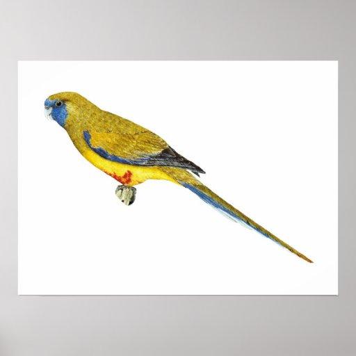 Blue Bonnet Parrot - Northiella haematogaster Posters