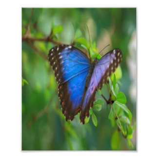 Blue Butterfly Photographic Print