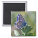 blue butterfly square magnet