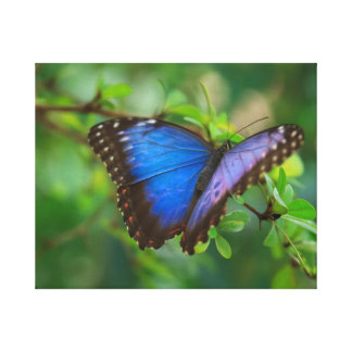 Blue Butterfly Stretched Canvas