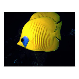 Blue cheed (masked) butterfly fish, Red Sea, Egypt Postcards