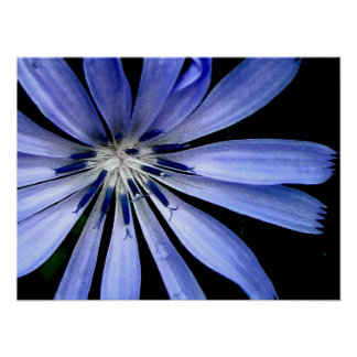 Blue Chicory Wild Flower Poster