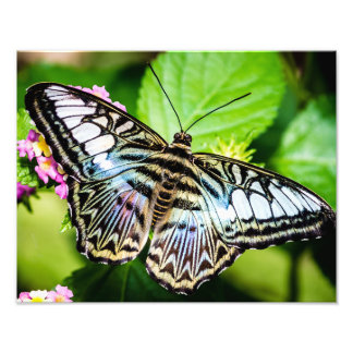 Blue Clipper Butterfly Photograph