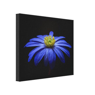Blue Daisy Gerbera Flower on a Black background Stretched Canvas Print