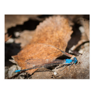 Blue Damselfly Postcard