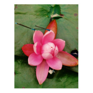 Blue Dragonflies on a pink lotus flower Postcard