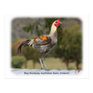 Blue Duckwing Australian Game Cockerel 9Y557D-006 Postcard