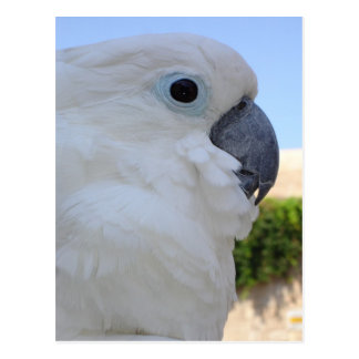 Blue Eyed Cockatoo Postcard