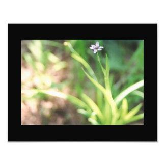Blue Eyed Grass Nature Photo