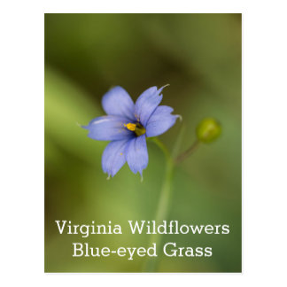 Blue Eyed Grass Virginia Wildflower Postcard
