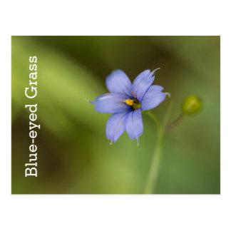 Blue Eyed Grass Wildflower Floral Postcard