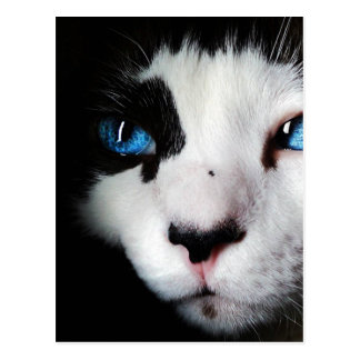 Blue Eyed Tuxedo Cat Close Up Postcard