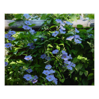 Blue flowering vine poster