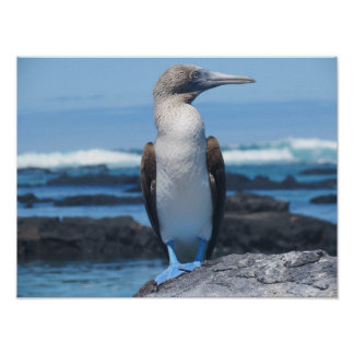 Blue Footed Booby Poster