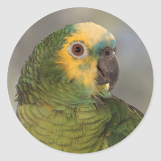 Blue-fronted amazon parrot. round sticker