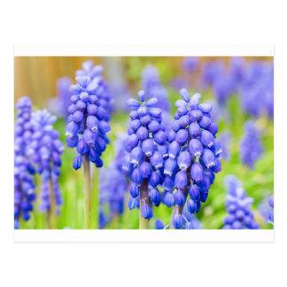 Blue grape hyacinths postcard