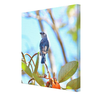 Blue-Gray Tanager Costa Rican Bird on Canvas