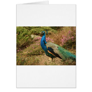 Blue Green and Orange Peacock Card
