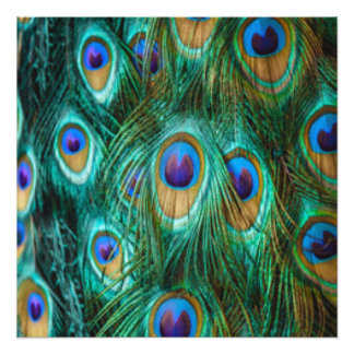 Blue Green Peacock Feathers Photo Print