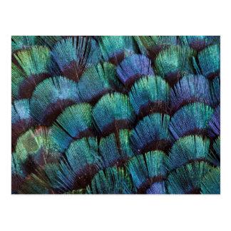 Blue-green pheasant feather design postcard