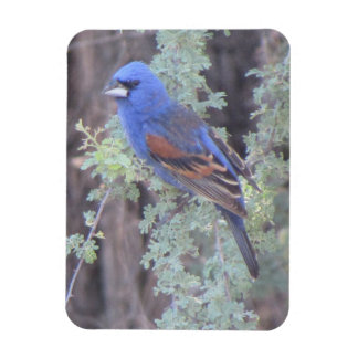 Blue Grosbeak Magnet