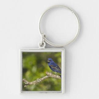 Blue Grosbeak,Passerina caeulea, Coastal Bend, Silver-Colored Square Key Ring