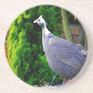 Blue Helmeted Guinea Fowl standing in the sun Coaster