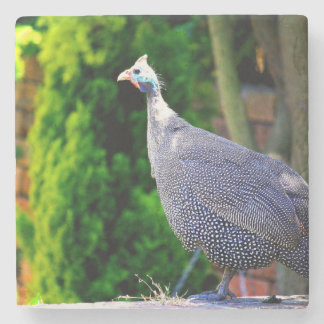 Blue Helmeted Guinea Fowl standing in the sun Stone Coaster
