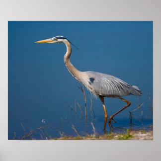 Blue Heron Wading Poster