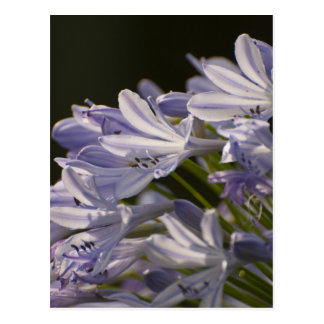 Blue Hostas Postcard