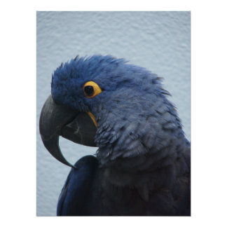 Blue hyacinth macaw head shot poster