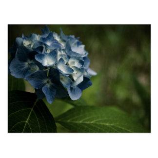 Blue Hydrangea 8519 Postcard