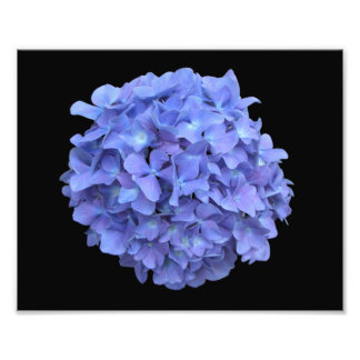 Blue Hydrangea Bloom Photograph