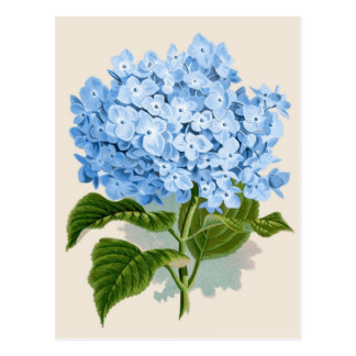 Blue Hydrangea Botanical Print Postcard