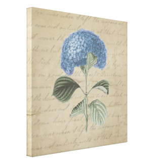 Blue Hydrangea on Vintage Calligraphy Canvas Print